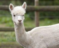 Een witte alpaca in een openluchtbijlage Royalty-vrije Stock Foto's