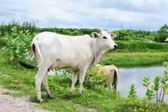 Een witte Azië koe. Stock Afbeelding