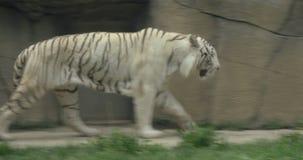 Een witte Bengalen tijger stock video