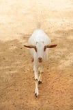 Een witte binnenlandse geit stock fotografie