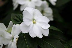 Een witte bloei van begonia in park stock foto's