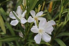Een witte bloem Stock Afbeelding