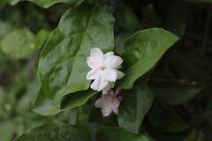 Een witte bloem in een tuin royalty-vrije stock afbeeldingen