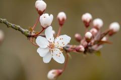 Een witte bloesem in de lente royalty-vrije stock foto's