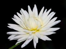 Een witte Dahlia stock foto's