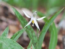 Een Witte Forel Lily Split stock fotografie