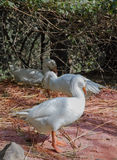 Een witte gans op oranje gras Stock Foto's