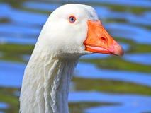 Een witte gansslaap in het meer met één omhoog poot stock foto