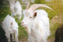 Een witte geit bevindt zich onder de kudde op een bloeiende weide royalty-vrije stock afbeelding
