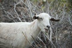 Een witte geit bij het landbouwbedrijf Stock Fotografie