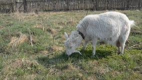 Een witte geit die op het gebied weiden stock footage