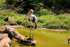 Een witte geschilderde ooievaarsvogel die op dierentuin lopen bekijkt dicht ontzagwekkend het kijken stock foto's