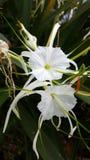 Een witte heldere bloeiende lelie in de ochtendzonneschijn Royalty-vrije Stock Afbeeldingen