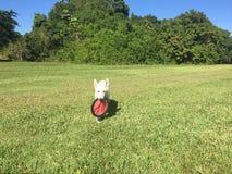 Een Witte Herder Puppy Carrying een Frisbee Stock Foto