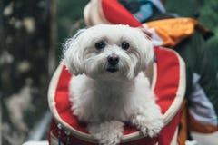 Een Witte Hond die in een Rugzak worden gedragen stock foto's