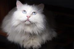Een witte kat Royalty-vrije Stock Afbeeldingen