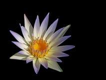 Een witte lotusbloem stock fotografie