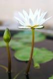 Een witte lotusbloem in bassin Stock Foto's