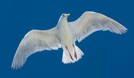 Een witte meeuw die in hemel vliegen Royalty-vrije Stock Foto's