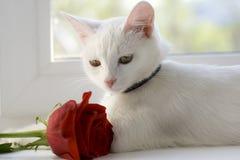 Een witte mooie kat zit op een venster Royalty-vrije Stock Foto's