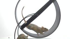 Een witte muis loopt in het lopende wiel, zit een andere witte muis voor het, langzame motie stock footage