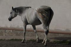 Een witte paard status Stock Afbeelding