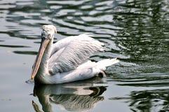 Een witte pelikaan die in water zwemt Royalty-vrije Stock Afbeelding