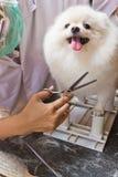 Een witte pomeranian glimlach Stock Fotografie