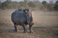Een witte rinoceros met oxpeckerpassagiers stock afbeeldingen