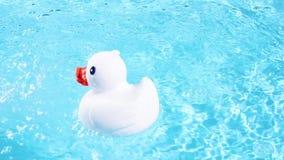 Een witte rubbereend drijft gemakkelijk en zwemt stock footage