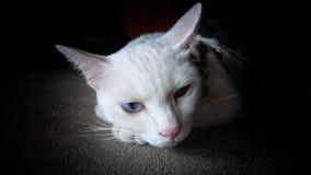 Een witte siamese kat die alleen voelen Royalty-vrije Stock Afbeeldingen
