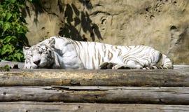 Een witte tijger blauwe ogen van tijgerbengalen Stock Afbeelding