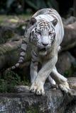 Een witte tijger onderzoekt de menigte aangezien het in zijn bijlage bij de Dierentuin van Singapore in Singapore ontspant Royalty-vrije Stock Foto