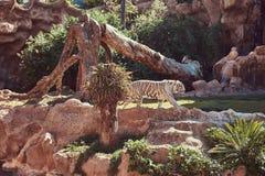 Een witte tijger van Bengalen loopt op het park in de nationale dierentuin Het zoeken van een koele plaats aan huid van de zon op Stock Foto