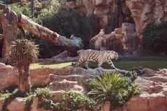 Een witte tijger van Bengalen loopt op het park in de nationale dierentuin Het zoeken van een koele plaats aan huid van de zon op Royalty-vrije Stock Fotografie