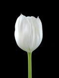 Een witte Tuilip op Zwarte Royalty-vrije Stock Afbeeldingen