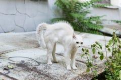 Een witte verdwaalde kat voelt gedreigd en maakt een gebochelde Kat het rond gemaakte verdedigen stock afbeelding