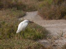 Een witte vogel dichtbij aan de weg, Regionaal Aardpark van Camargue, Frankrijk Royalty-vrije Stock Fotografie