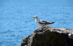 Een witte zeemeeuw bevindt zich op een rots van het overzees Stock Foto