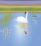 Een witte zwaan Stock Foto