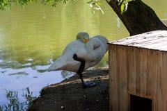Een witte zwaan op de kust stock afbeelding