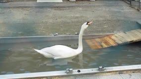 Een witte zwaan zwemt en baadt stock footage