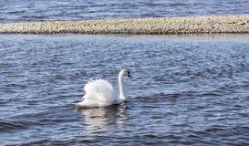 Een witte zwaan zwemt in een meer op een zonnige winderige dag stock foto's