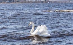 Een witte zwaan zwemt in een meer op een zonnige winderige dag royalty-vrije stock foto's
