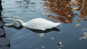 Een witte zwaan zwemt in een vijver van een stadspark stock videobeelden