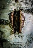 Een wond in de schors van een berkboom, voor de extractie die wordt gemaakt van stock afbeeldingen