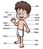 Een woordenschatdeel van lichaam royalty-vrije illustratie