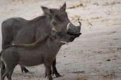 Een Wrattenzwijn in de wildernis in Senegal stock foto's