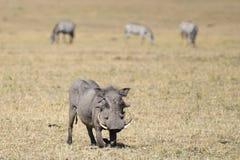 Een wrattenzwijn op de onbewerkte grond stock afbeeldingen