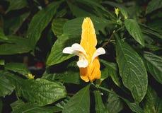 Een YellowThevetia-ahouai Apocynaceae, in bloei Stock Foto's